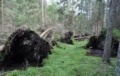 Tysiące drzew powalonych w Puszczy Białowieskiej