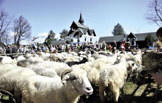 Pachnieć owcami