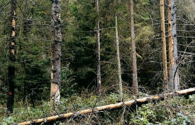 W Puszczy Białowieskiej jest wiele chorych i martwych drzew, które są zagrożeniem dla ludzkiego życia
