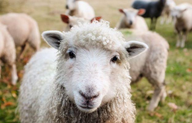 Pasterz pozwala owcom beczeć!