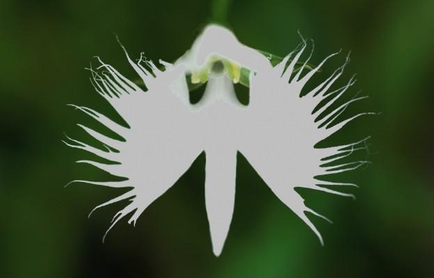 """Kwiat """"ducha świętego"""""""