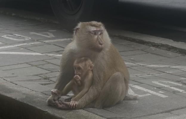Indie: Małpy ukradły próbki krwi chorych na Covid-19