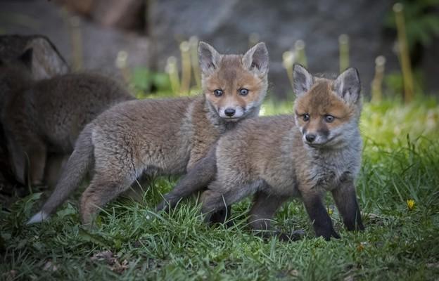 Na świecie zabija się rocznie ok. 100 mln zwierząt futerkowych