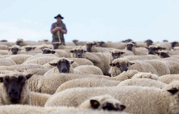 Najemnik i pasterz