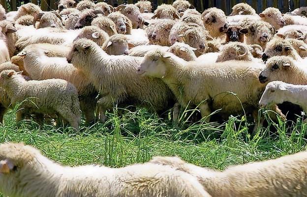 Pandemia owiec nie zatrzyma