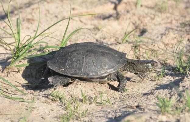 Na Polesiu można spotkać żółwia błotnego