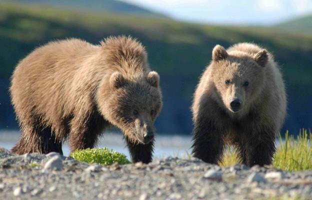 Tatry: Niedźwiedzia rodzina przeniosła się; szlaki w Dolinie Gąsienicowej otwarte