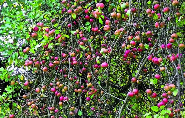 Plebańskie jabłka